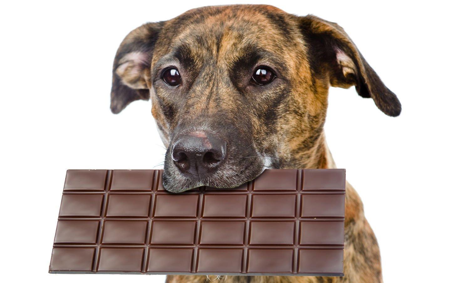 Qué hacer si su perro encuentra su escondite de chocolate