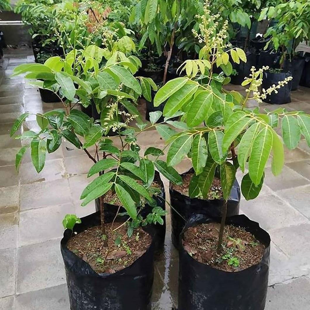 Bibit kelengkeng matalada siap berbunga Sumatra Barat