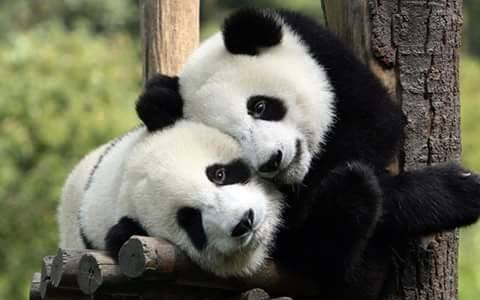 Animals, The calm of panda