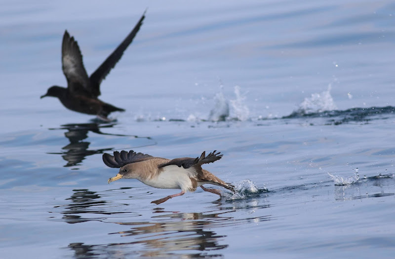 Cory's Shearwater (Calonectris borealis) and Sooty Shearwater (Ardenna grisea) taking off. About 2 miles off Ilha da Culatra, Algarve, 22-July-2020. All photos: Georg Schreier.