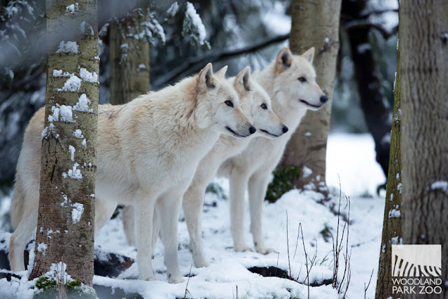 woodland park zoo blog animals explore a winter. Black Bedroom Furniture Sets. Home Design Ideas