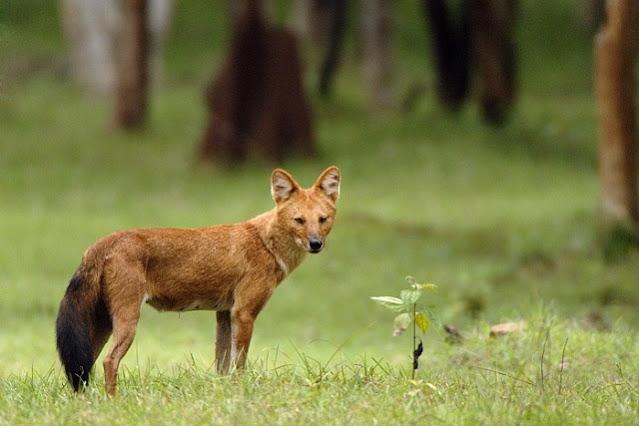 Gambar fauna hewan ajag