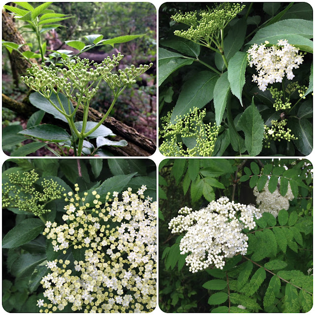 Collage of 3 elderflowers and one that isn't!