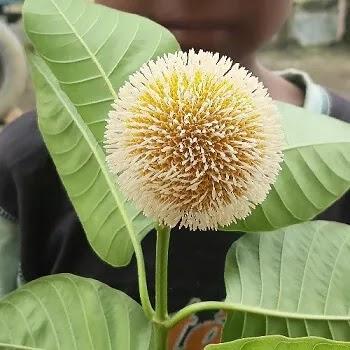 कदम्ब फळ, Neolamarckia cadamba fruits name in Marathi