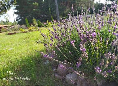 Różowo-fioletowy ogród lawendowy