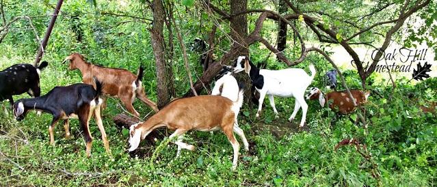 Bacterial conjunctivitis in goats