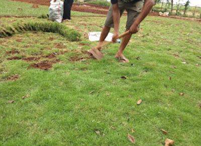 Jual Rumput Jepang di BSD CITY - Tukang Rumput Bogor