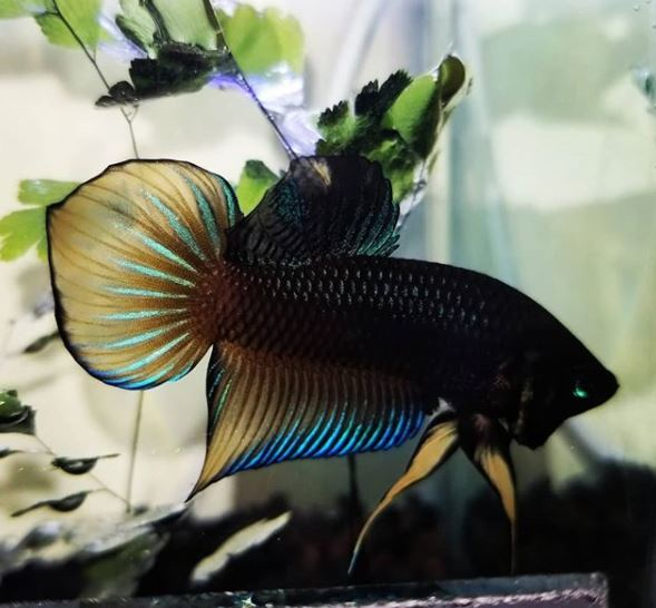 Gambar Ikan Cupang Spadetail