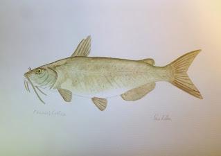 Channel Catfish, Catfish, Pat Kellner, P. H. Kellner, Fishing Art, Fly Fishing Art, Texas Freshwater Fly Fishing, TFFF, Fly Fishing Texas, Texas Fly Fishing