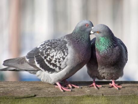 Birds, Mammals,Pigeon,