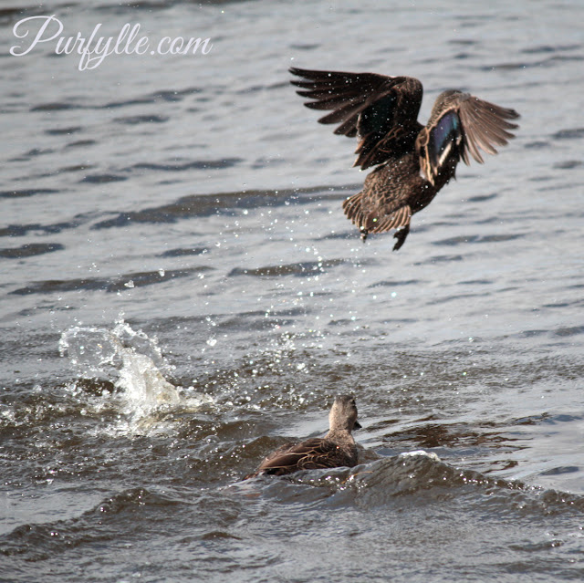 Skirmish between black duck parents for rights to raise the young