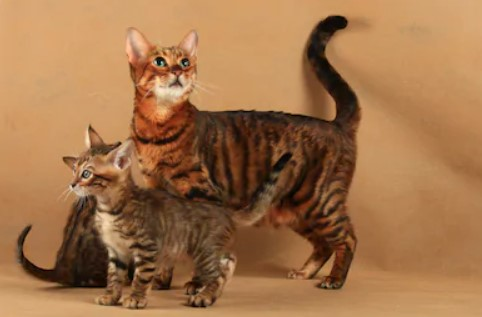 Toyger cat - all you want to know about Toyger cats