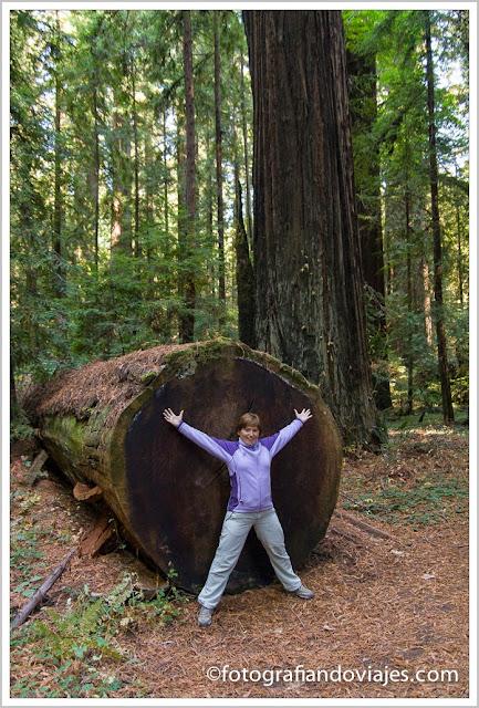 pequeña secoya en redwood
