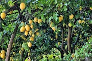 cultivation of lemon farming tips for grow in hindi