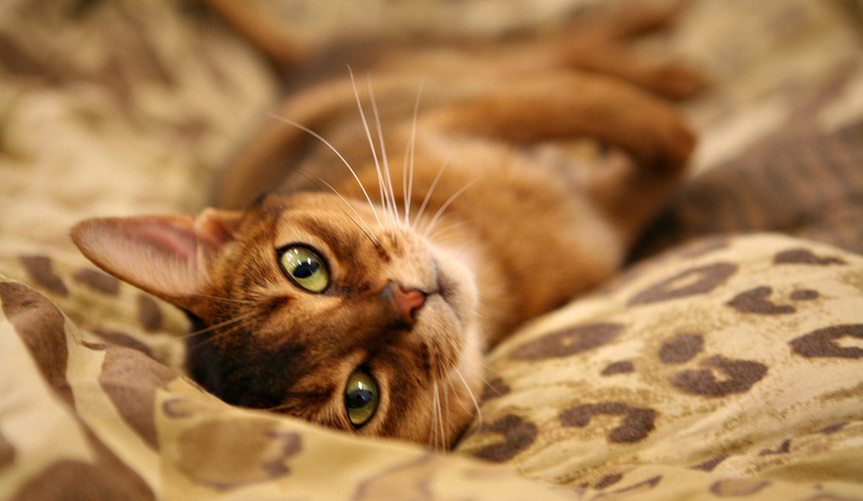 Abyssinian-cats-healthiana