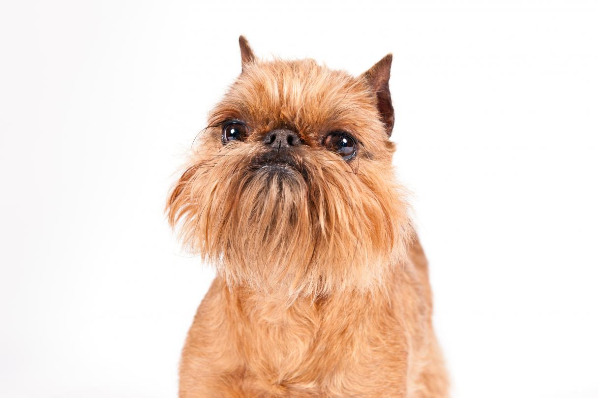 Everything about your Brussels Griffon - LUV My dogs