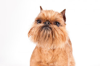 Everything about your Brussels Griffon