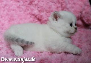 BKH Kitten seal silver shaded point