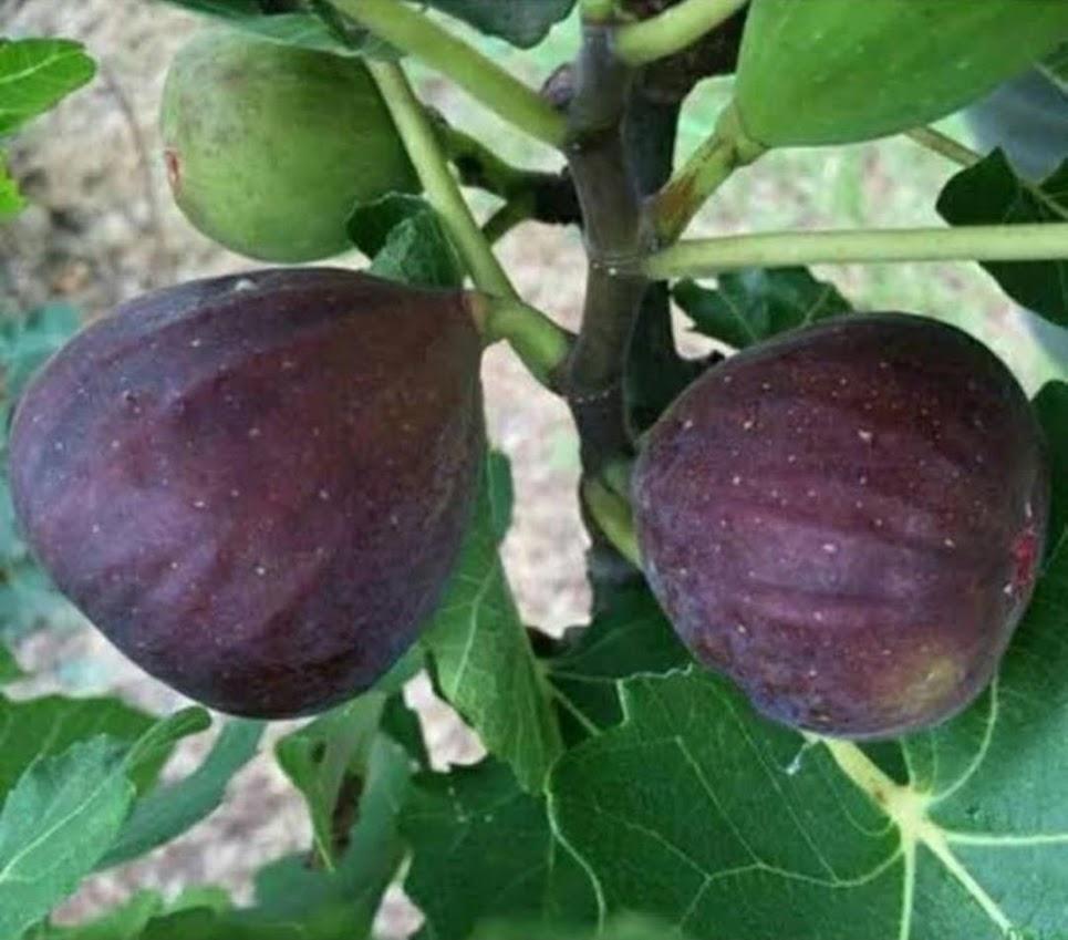 terlaris termurah bibit pohon tin ara jenis blackGenoa super Tarakan