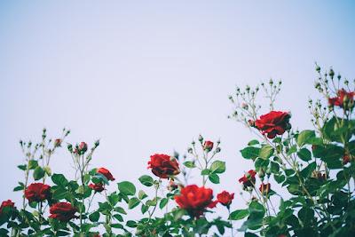 cara mengungkap rasa pakai mawar merah