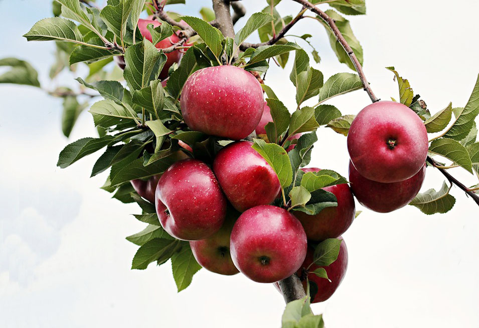 15 Surprising Benefits of Apples for Health