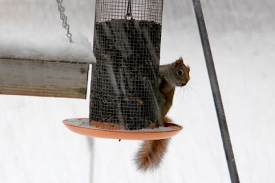 red squirrel at Winter feeder