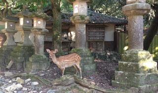 un cervo davanti alle lanterne di pietra del santuario