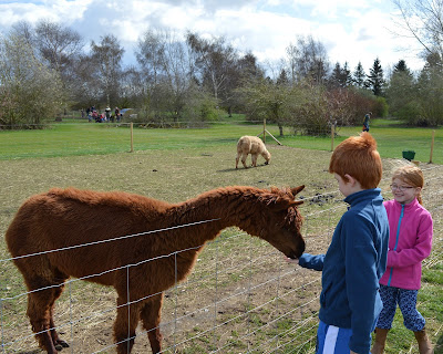 Tattershall Farm Park - A review - feeding an alpaca