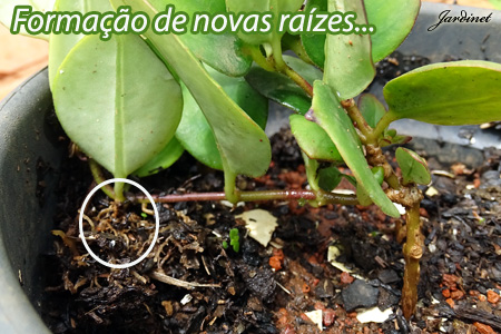 Formação de novas raízes - Mergulhia
