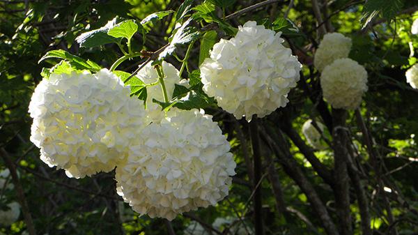 Backlit white hydrangeas
