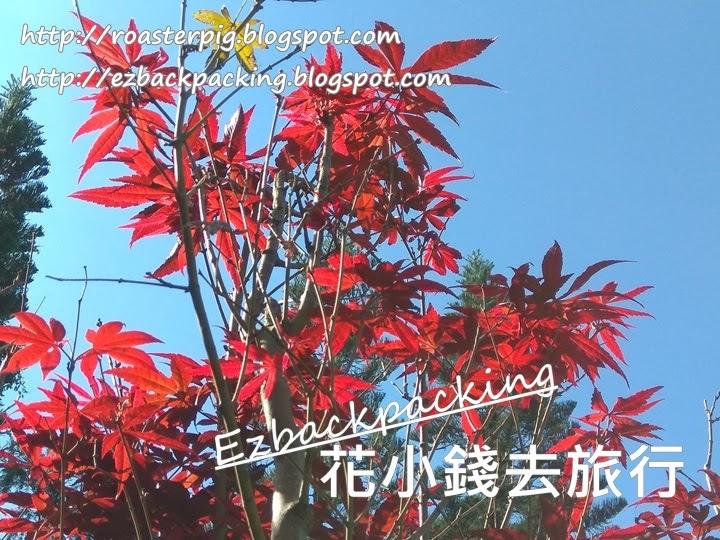 香港 雞爪楓