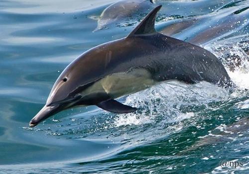 Common dolphin Lumba-lumba
