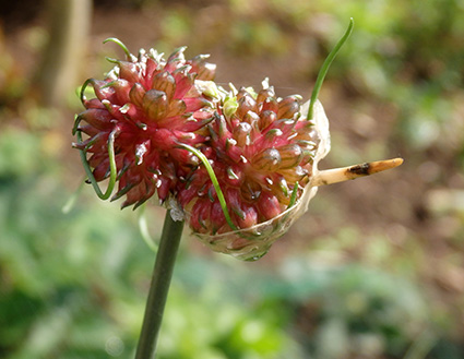 Ajo de cigüeña, puerro de viña (Allium vineale)