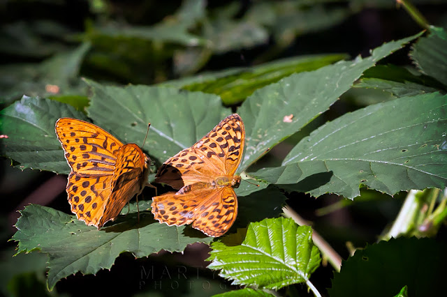 Close up image of two Male Silver-washed fritillaries at Holme Fen