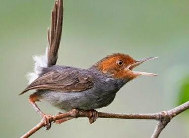 Jenis Burung Perenjak Bambu Dan Cara Merawat Hariannya Supaya Cepat Gacor