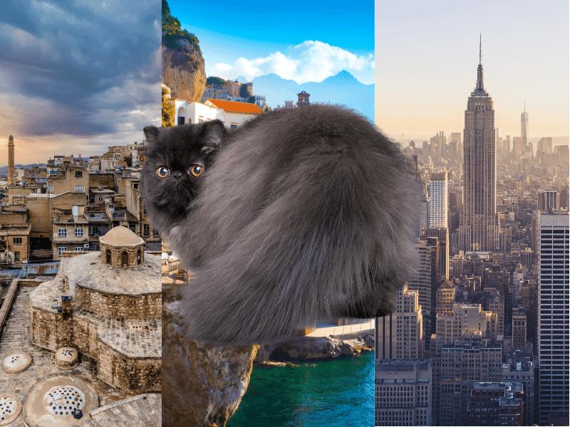Historia del gato persa y de donde proviene