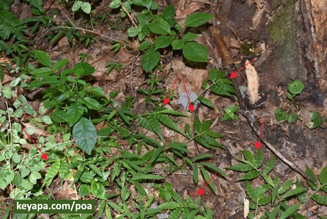Oplismenus undulatifolius (Wavyleaf Basketgrass)