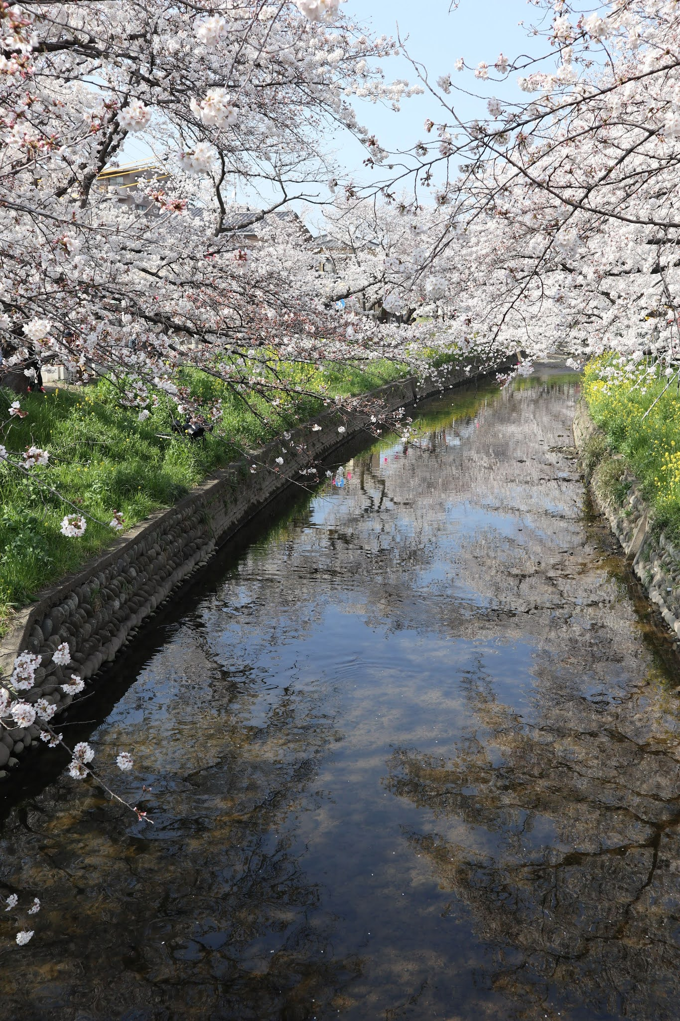 岩倉桜まつり1