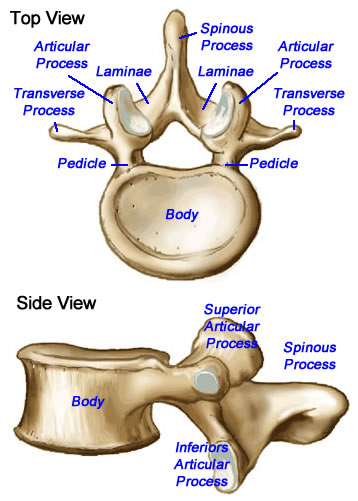 diagram of lumbar vertebrae diagram of the vertebrae