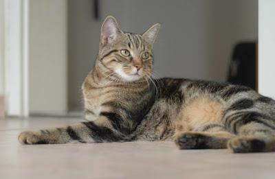 Perawatan Kucing Brazilian Shorthair