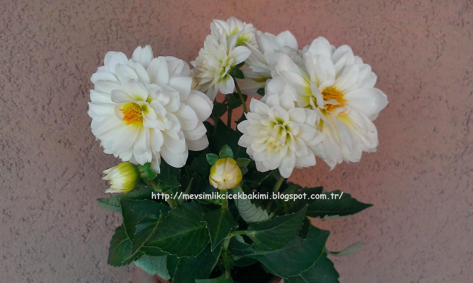 Neden bölünme çiçek açmıyor Başlıca nedenler