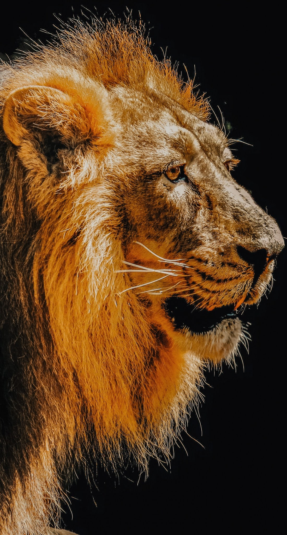 Photo of a majestic lion.
