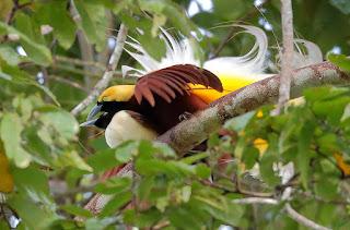 Burung cendrawasih kuning kecil Paradisaea minor