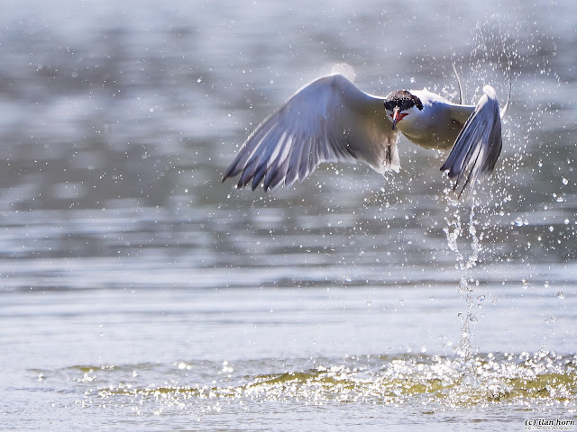 Tern Emerging from the Water