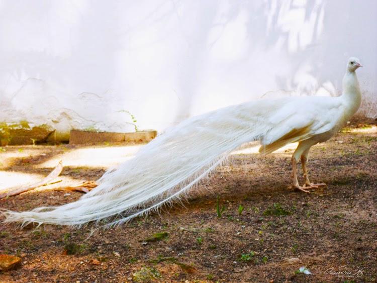 pavão branco Bosque dos Jequitibás