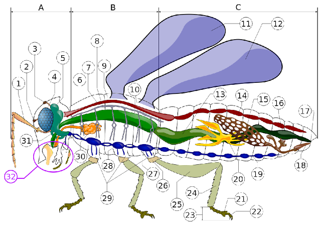 Anatomic Diagram of an Insect