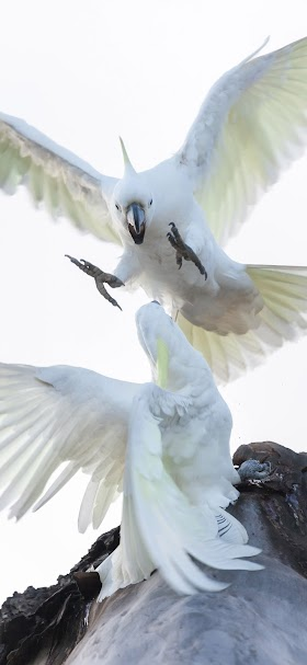White cockatoo parrots fighting in the air wallpaper