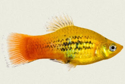Gambar Ikan Platy Sunset