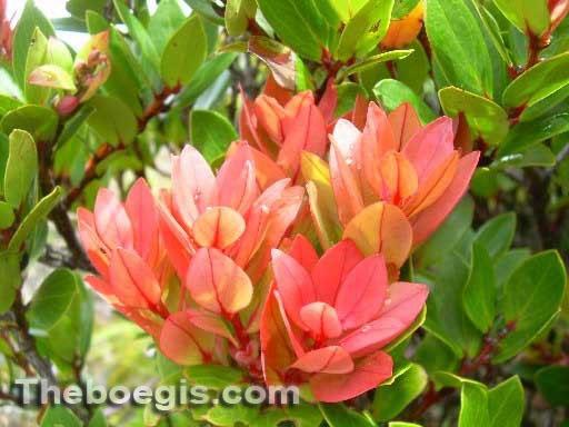 Benefits of Cantigi Leaf Efficacy for Skin Beauty