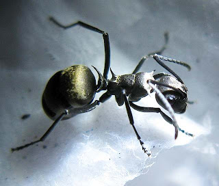 A worker of Polyrhachis dives
